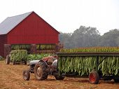 foto of tobacco barn  - Tobacco leaves 