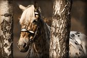 picture of appaloosa  - Portrait of horse in birches - JPG