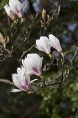 picture of saucer magnolia  - close  - JPG