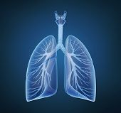 stock photo of bronchus  - Human lungs and bronchi in x - JPG