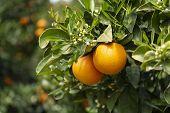 Orange Citrus Fruit Plantation On Peloponnese, Greece, New Harvest Of Sweet Juicy Oranges poster