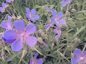 Bright Summer Flowers Of Meadow Geranium In A Meadow Against The Background Of Green Meadow Grass. poster
