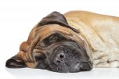 foto of english-mastiff  - English mastiff dog sleep on white background - JPG