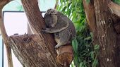 Koala Is Sleeping In A Tree. Concept Of Animals In The Zoo. Pattaya Zoo, Thailand poster