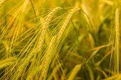 Ripe Wheat Ears In A Field. Wheat Field.earripe Wheat Ears In A Field. Wheat Field.ears Of Golden Wh poster