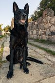 Black Female Belgian Malinois Dog Sitting On Paving Stone Of An Ancient Greek Alley On Kos Island. P poster