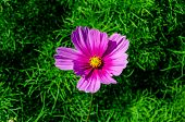 Pink Cosmos Flowers In The Garden, (cosmos Bipinnatu, Cosmos Bipinnatus; Cosmos Sulphureus,cosmos Ga poster