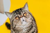 Exotic Shorthair Cat With Yellow Eyes On A Yellow Background. Tabby poster