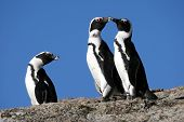stock photo of jackass  - Three African or Jackass penguins in South Africa - JPG