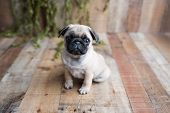 An Adorable Pug Puppy Sitting On White Background poster