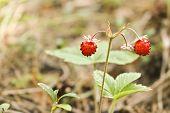 Ripe Berries Of Wild Strawberry (fragaria Vesca) Wild Plants. Selective Focus. poster