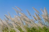 picture of wind blown  - Grass flower blown by the wind - JPG