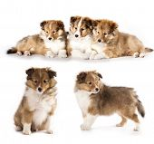 stock photo of sheltie  - sheltie puppies and mother dog - JPG