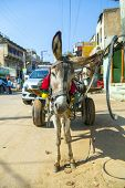 pic of headstrong  - Donkey in cart at the street waiting for load - JPG