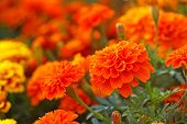 stock photo of marigold  - orange marigold flower in the flora group - JPG