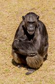 pic of chimp  - A female adult chimp sitting down and cuddling her baby - JPG