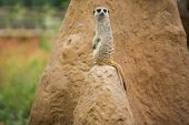picture of meerkats  - Portraits of meerkats or Suricata suricatta - JPG