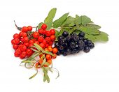 buck thorn, ashberry and chokeberry with leaves on a white background.