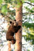 foto of bear cub  - Brown bear cub hugging a tree in summer - JPG