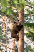 stock photo of bear cub  - Brown Bear cub climb up a tree in summer - JPG