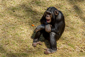 stock photo of chimp  - Male adult chimp communicating with facial expression and hand gestures - JPG