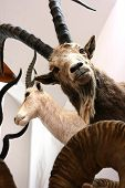 stock photo of taxidermy  - Ibex trophy room animals wild  taxidermy objects - JPG