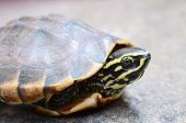 stock photo of turtle shell  - The little turtle Lying on the concrete floor - JPG