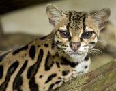 image of ocelot  - margay cat or caucel or leopardus wiedii curiously looking at camera - JPG