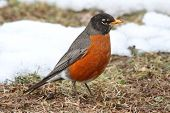 picture of songbird  - American Robin  - JPG