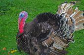 stock photo of turkey-cock  - The elegant turkey cock on the green grass - JPG