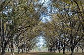 picture of pecan tree  - Pecan orchard in the fall under a blue sky