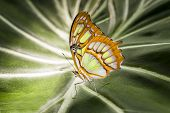 picture of malachite  - Malachite butterfly resting on a giant elephant plant leaf - JPG