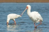 foto of fluffing  - An African Spoonbill  - JPG