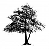 image of alder-tree  - Black Alder full size tree isolated silhouette - JPG