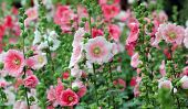 foto of hollyhock  - the beautiful hollyhock flower or althaea flower - JPG