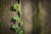 stock photo of ivy vine  - A young ivy shin up on the side of the tree - JPG