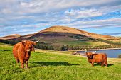 pic of grassland  - Highland angus cow grazing green grass on a farm grassland - JPG