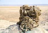foto of desert-rose  - tunez rose desert salt lakes tunez with desert background - JPG