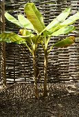 picture of partition  - The photograph of a banana tree - JPG