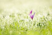 Постер, плакат: Purple Crocus And Early Morning Grass