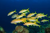 stock photo of school fish  - School of yellow fish - JPG
