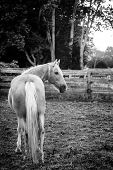 image of bluegrass  - Palomino horse standing by the fence at sunset - JPG