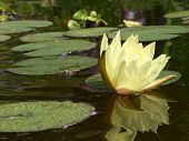 pic of water lily  - Water lily - JPG