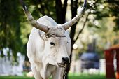 stock photo of oxen  - Portrait of Ox on Agricultural exhibition near the Castle Vajdahunyad in Budapest - JPG