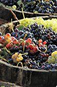 pic of grape  - Harvesting grapes - JPG