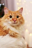 picture of lovable  - Lovable red cat on lights background - JPG