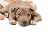 pic of pitbull  - Pitbull puppy lying on a white background at the feet of a child - JPG