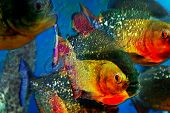 foto of piranha  - Multicolor background with a fishes piranha simulates textured surface - JPG