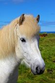 picture of brown horse  - Portrait of a white horse with brown ears - JPG