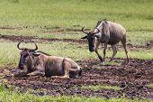 image of wildebeest  - Wildebeests  - JPG